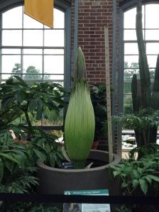 St. Louis botanical gardens, Titan Arum, death plant, plants, rare, cool, books, author blog, writer, YA, MG, fantasy read, summer fun, adventure, travels, journey, life,