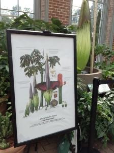 Titan Arum, death plant, St. Louis botanical gardens, plants, rare, cool, books, author blog, writer, YA, MG, fantasy read, summer fun, adventure, travels, journey, life,
